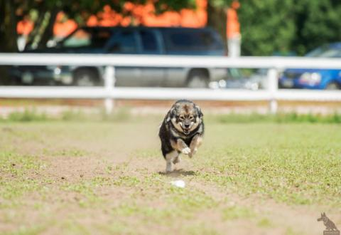 Lappies discover lure coursing at K9 Sport Fest