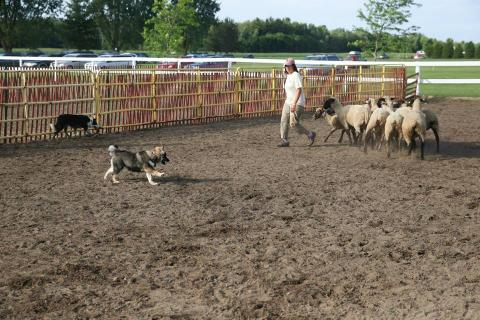 Kiire performs in Herding