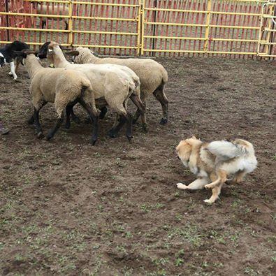 Maverick also showing herding skills