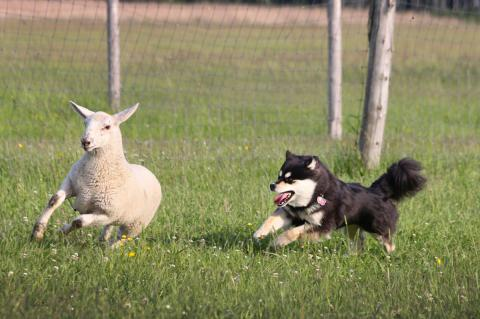 Mishka has earned her Certificate of Herding Instinct