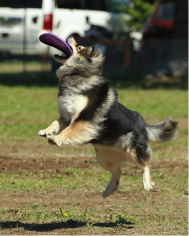 Mysti at Guides Canins disc competition
