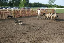 Kiire performs in Herding
